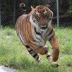Tony the Tiger Running